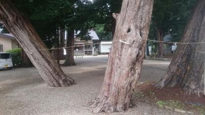 意冨比神社イチイの木