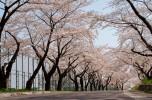 大野川沿いの桜並木