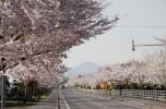 清川の千本桜