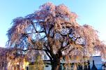 法亀寺しだれ桜
