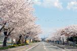 清川千本桜