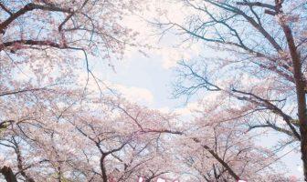 'Hokuto Sakura Festival' Poster is now publicized!